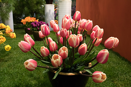 Hitem jara jsou tulipány.