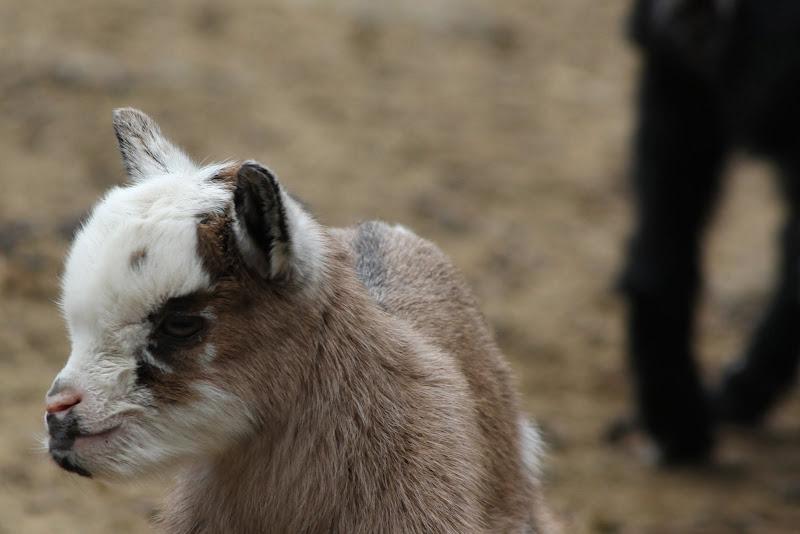 obrovske kozy nornik olomouc