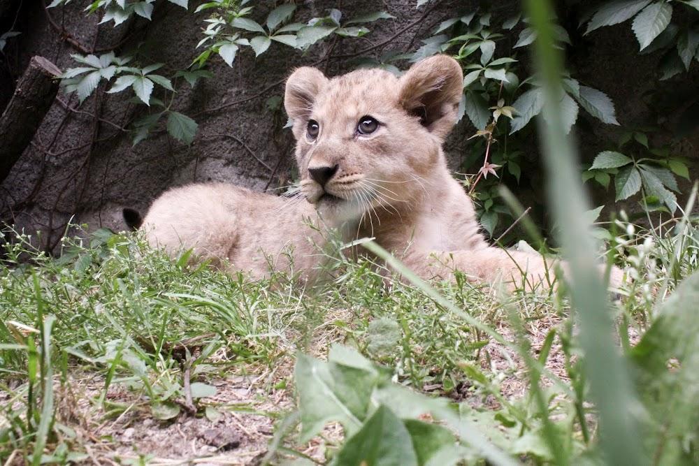 Galerie: Ve Dvoře Králové se narodila lví koťata.
